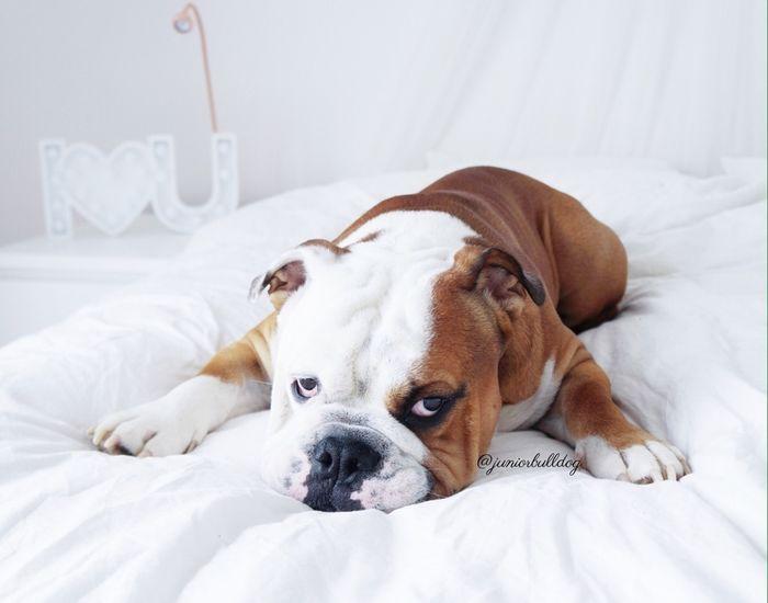 Lazy morning @yummypets #english #bulldog