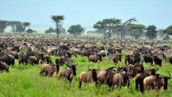 Den store migration på Serengeti sletten i Tanzania