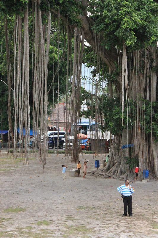 banyan tree, Candi Mendut, Jogjakarta / Yogyakarta, Java