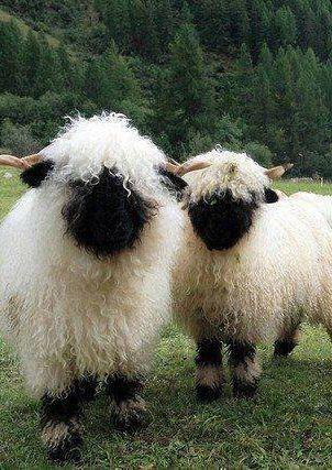 Moutons à nez noir du Valais, Suisse