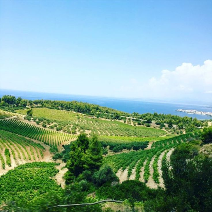 The #vineyards of Domaine @portocarras, a combination of various vineyards extending on the #slopes of #resort Meliton!  #portocarras #domaine #wine #luxury #resort #bio #Sithonia #Halkidiki