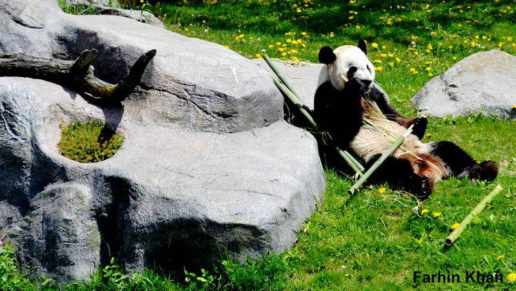 Panda bear - Farhin