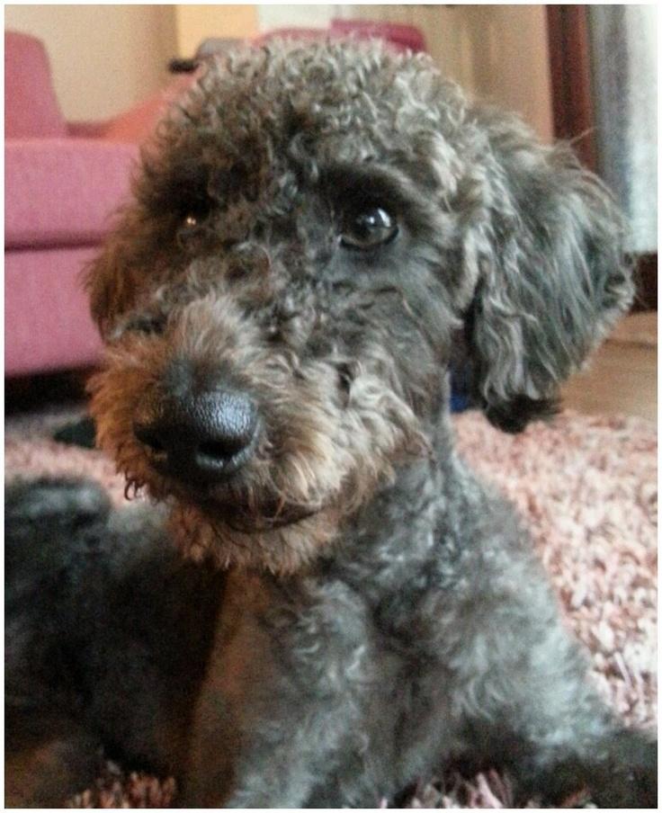 My beautiful dog. Bedlington cross poodle.