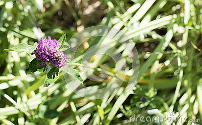 Flower of trifolium in a meadow in la spezia