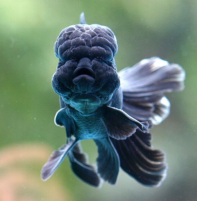 THE ANIMAL EFFECT — tiny-creatures: Black Goldfish by Chi Liu on...