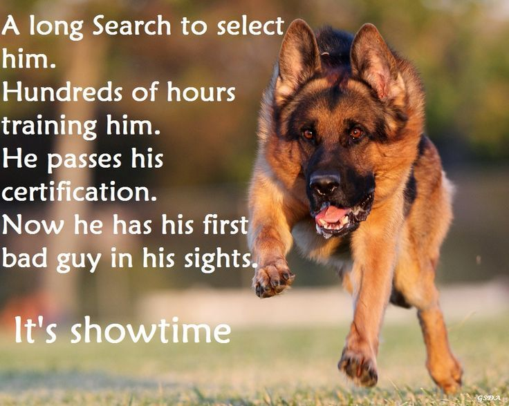 From my GSD FB Page German Shepherd Dogs Australia. https://www.facebook.com/German.Shepherd.Dogs.Australia?ref=tn_tnmn
