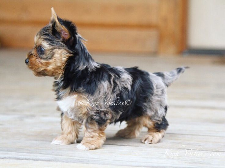 Colorful Merle Puppy Colorfulyorkies Merleyorkie Yorkie Puppy Dog Yorkie Puppy Yorkshire Terrier Yorkshire Terrier Puppies