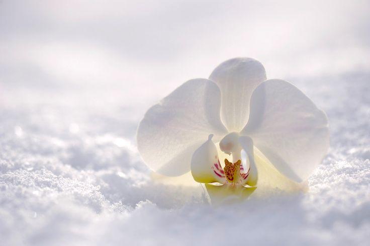 Orchidee, Blume, Blüte, Natur, Schnee, Sonne