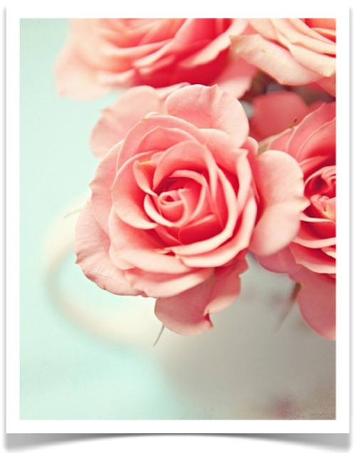 Pink (Killarney?) Rose