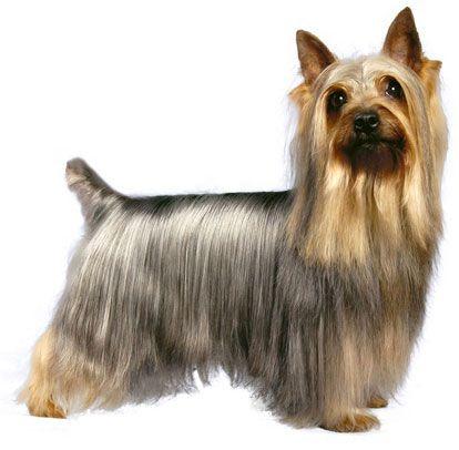 Австралийский шелковистый терьер / Силки-терьер / Australian Silky Terrier #терьер #силки #собака