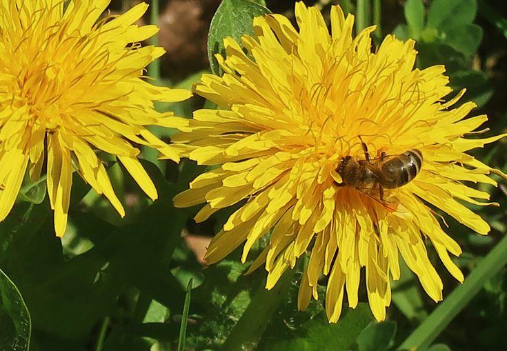 12. April 2018 - Noch tragen die Bienchen keine gelben Höschen. Aber schon bald! Sie freuen sich