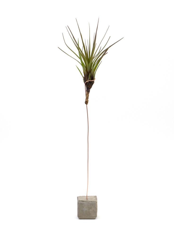 Tricolor Melanocrater Air Plant Holder: Handmade concrete air plant holder + the Tricolor Melanocrater Air plant. Tillandsias are commonly known as airplants, they are native from deserts, forests and mountain regions of central and south America.  No soil needed! They absorb moisture and nutrients through their leaves from the air and the rain. Air plants grow very slowly so we advise you to mist your air plant 2-3 a week and they usually prefer indirect light. Do not overwater them…