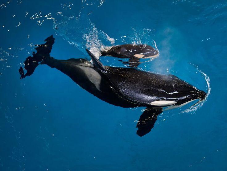Usa, baby orca nata a Seaworld: è la prima dopo il divieto degli show acquatici