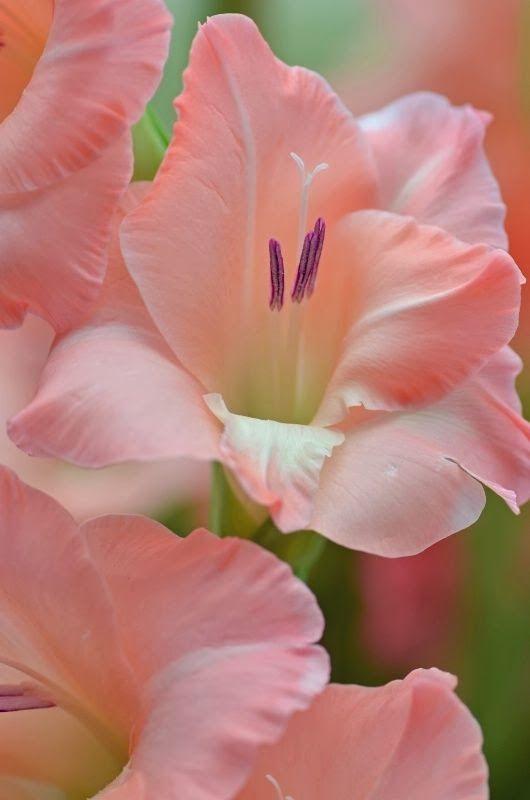 Pink gladioli