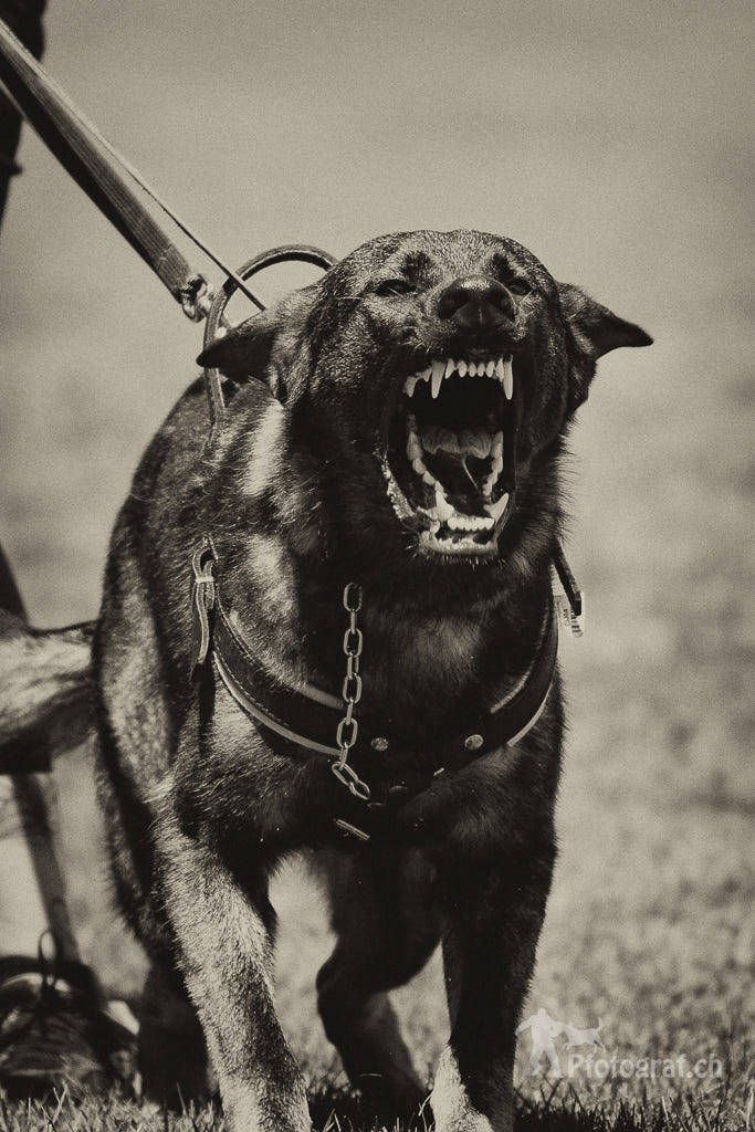 Angry By Caddil Quality Dogs War Dogs Boo The Dog