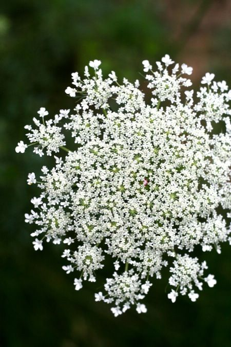 ~It is a very beneficial plant, even though many people classify it as an invasive weed. Queen Anne's Lace provides beneficial nectar to inse...~