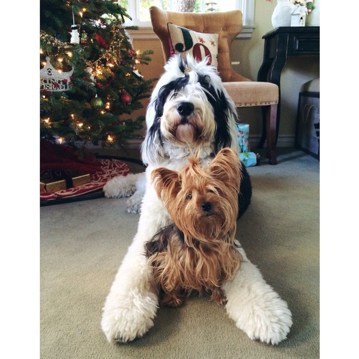 17 Best Images About Wilson Our Sheepadoodle On Pinterest Sheep Dogs Old English Sheepdog