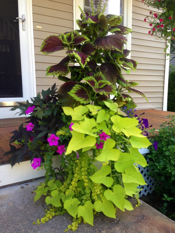 Coleus sweet potato vines creeping jenny petunias the garden urn pinterest - Growing petunias pots balconies porches ...