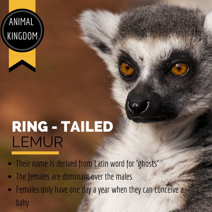 Steppes Travel Lemur Infographic
