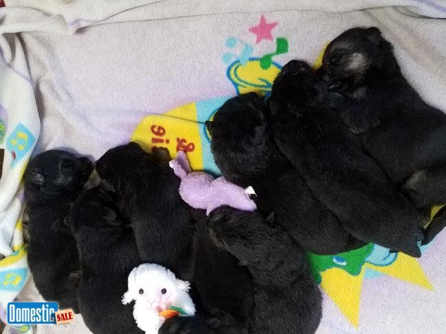 akc german shepherd puppies AKC German shepherd puppies 4 males and 2 females available,D.O.B. 6/27, will be able to leave at 8 weeks August 22. This litter is first come bases ...