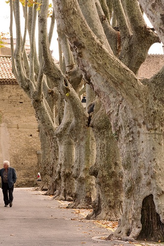 Grand Tree Lined Street in Provence