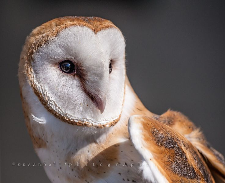 Barn Owl by Aquaholic  on 500px