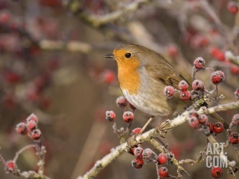 European robin perched among frost covered berries Photographic Print by Andrew Parkinson at Art.com