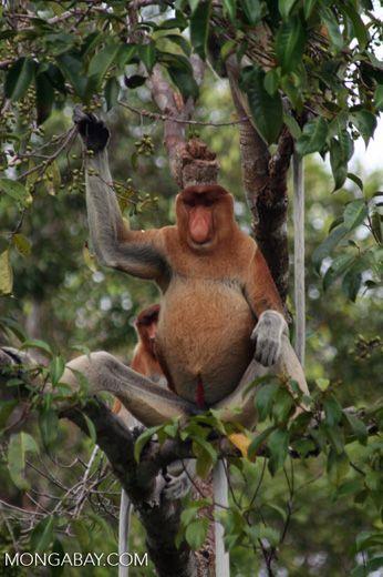 Domiant male Proboscis Monkey eating fruit (Kalimantan, Borneo – Indonesian Borneo)