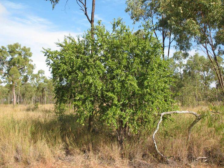 Petalostigma pubescens (Quinne Bush)