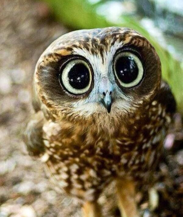 So cute ➰ #owl
