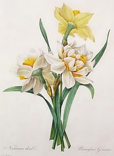 Narcissus, or Daffodil or Lent Lily, by  Pierre-Joseph Redouté