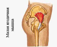 Малая ягодичная мышцаМалая ягодичная мышца – самая маленькая из всех трех, её функция вспомогательная, она так же позволяет удерживать корпус вертикально, отводить ногу в сторону, но только вместе с более крупными головками, поэтому тренировать её отдельно просто невозможно.