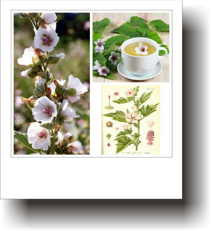 Plante medicinale – NALBA-MARE