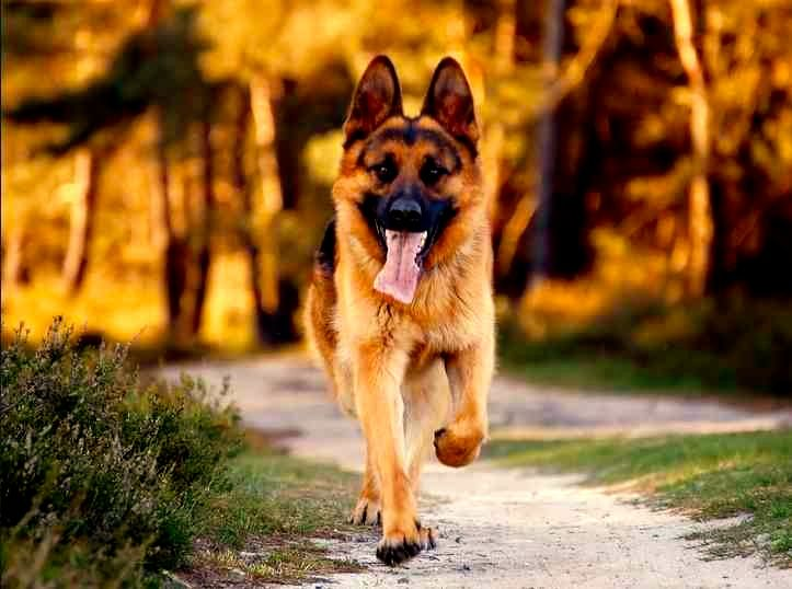 Razas De Perros Grandes Para Niños. Un vínculo lleno de amor que sobre pasa fronteras     Cuando tienes hijos en casa, es un mundo lleno de diversión, sin embargo cuando vas a un parque y ves la reacción de tu hijo frente a un perro, porque tu hijo querrá tocarlo hablarle y jugar con el, es ahí cuando te das cuenta que la opción de tener un perro en casa sería una buena alternativa. Un perro brindará cariño, amor, compañía y será....  Razas De Perros Grandes Para Niños. Para ver el artículo…