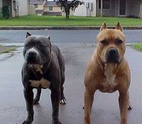 Top 10 Pitbull Training Tips