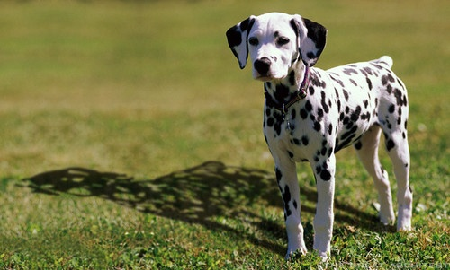 clever:  Coach Dogs, Cutest Dogs, Dogs Breeds, Dalmatians Puppies,  Carriage Dogs, Dogs Care, Cool Pics, 101 Dalmatians, Dalmatians Shadows