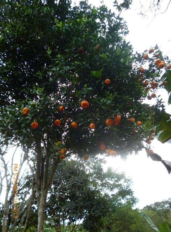 Arbol de mandarina -- Finca Santa Marta