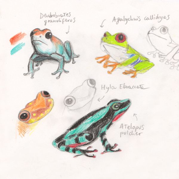"Amazonian dart frogs sketches, making of ""Ciacio in Amazonia"" picture book by Sarah Khoury"