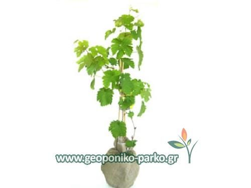 Καρποφόρα - Οπωροφόρα δέντρα : Αμπέλι - Κλήμα - Σταφύλι - Vitis vinifera