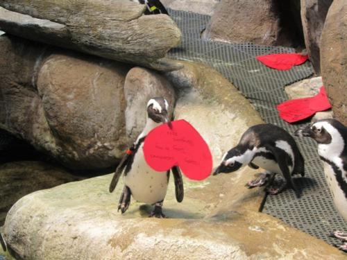 Penguins enjoying themselves on Valentine's Day - found on thedailypenguin.tumblr.com