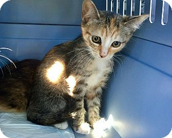 Hammond, LA - Domestic Shorthair. Meet Vixen, a kitten for adoption. http://www.adoptapet.com/pet/18336658-hammond-louisiana-kitten