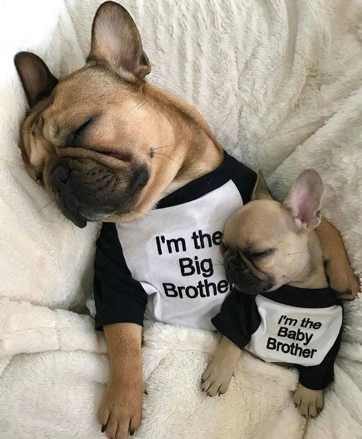 Adorable Frenchie Bulldog brothers! www.bullymake.com