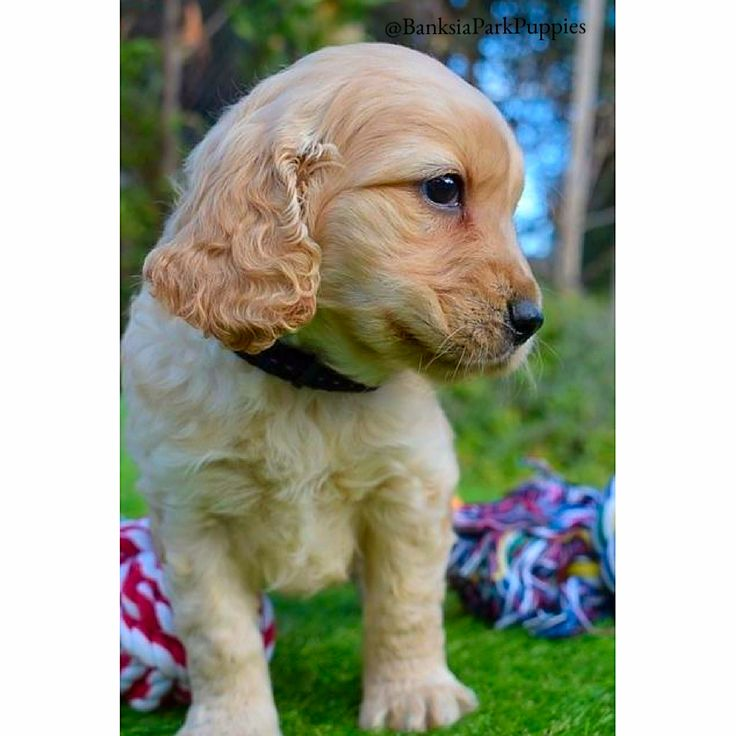 Stunning Spoodle!