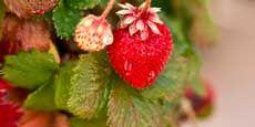 List of Strawberry Varieties / Cultivars http://strawberryplants.org/2010/05/strawberry-varieties/