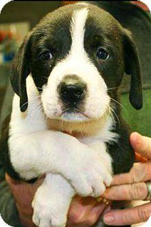 3/26/17 New York, NY - Labrador Retriever Mix. Meet Lab Mix Pups! (3), a puppy for adoption. http://www.adoptapet.com/pet/17833159-new-york-new-york-labrador-retriever-mix