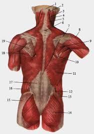 Картинки по запросу анатомический атлас мышцы спины