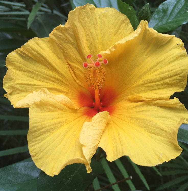 Sunshine and light from our yellow hibiscus looks like a burst of sunshine in our gardens at ikatan Spa http://ikatanspa.com/spa-packages/