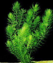 Hornwort How To Care For A Hornwort Plant Akvarium