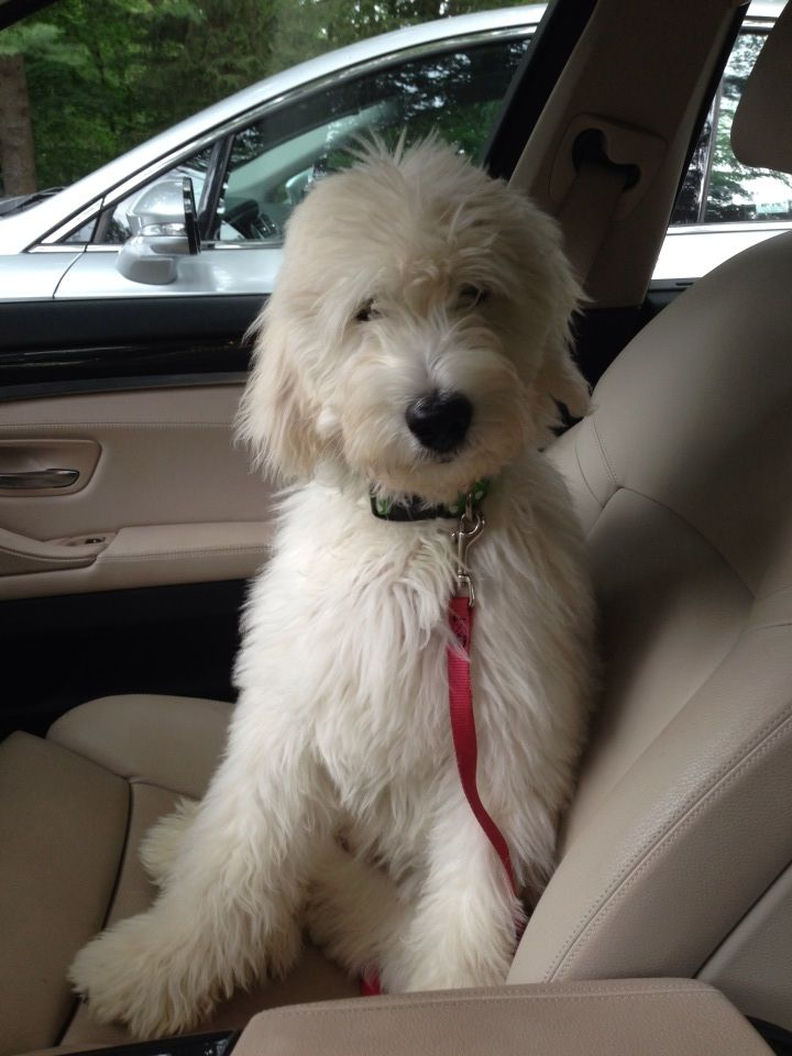 Maggie - English F1 Goldendoodle - Moss Creek