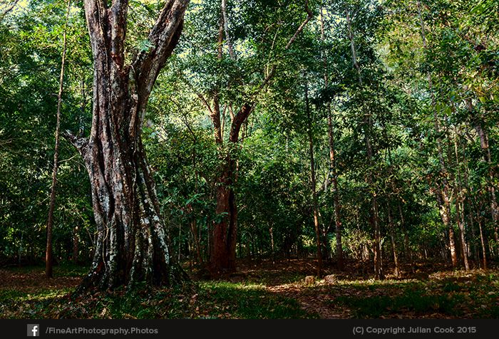 The grounds of #Baphuon had some wonderful #trees, lit up in the early #morning light.
